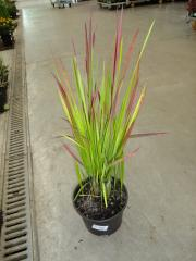 240_Imperata Cylindrica Red Baron_complete_24-07-2012_19-23-26.jpg