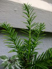 240_Taxus Baccata_branche_25-08-2011_14-02-05.jpg